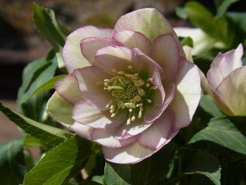 Christmas_rose_double