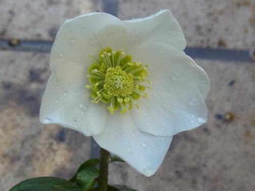 Christmas rose single nonspot