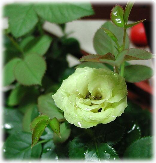 ゆうな薔薇