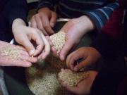 もみ米取り