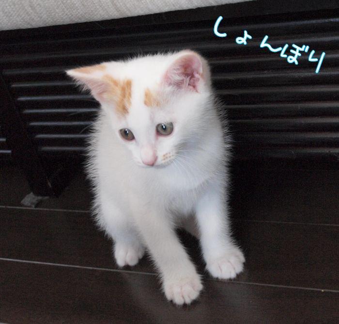 sakuryakukachasiro20110531 (4)