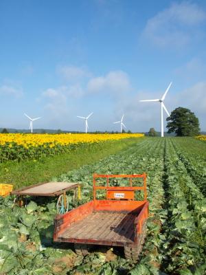 ひまわり畑とキャベツ畑と風車@郡山布引風の高原