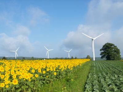 キャベツ畑とひまわり畑と風車@郡山布引風の高原