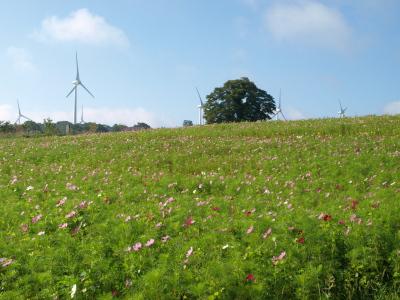 コスモス畑と風車@郡山布引風の高原