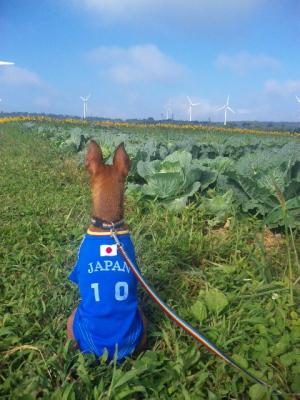 アクアとキャベツ畑と風車@布引高原