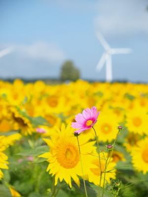 ひまわり畑の中にコスモス@郡山布引風の高原
