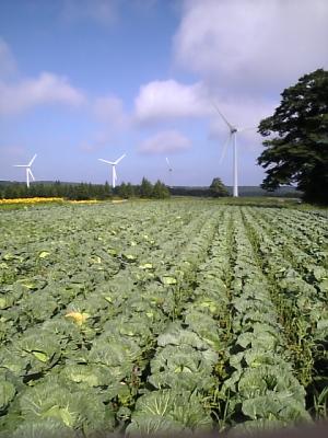 キャベツ畑と風車@布引高原