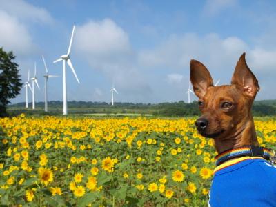 ひまわり畑とアクアと風車@郡山布引風の高原