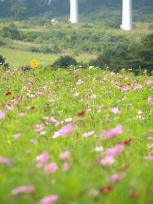 コスモス畑の中にひまわり@郡山布引風の高原