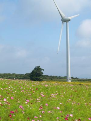 コスモス畑とひまわり畑と風車@郡山布引風の高原