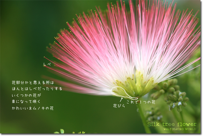 Silk-tree-flower説明