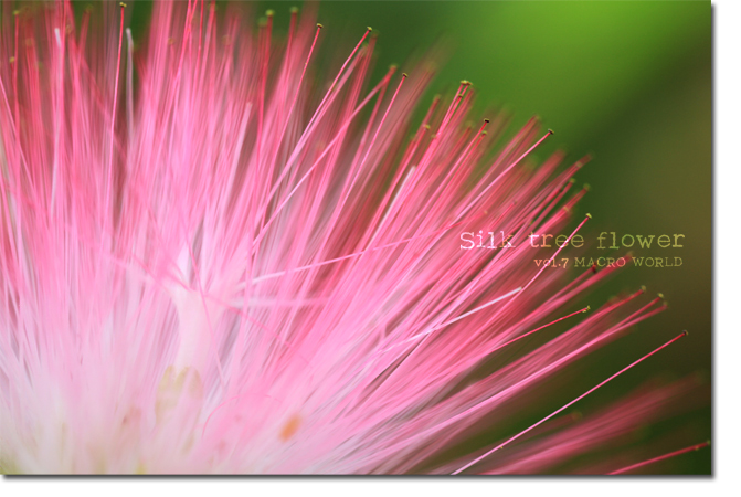 Silk-tree-flower1.jpg