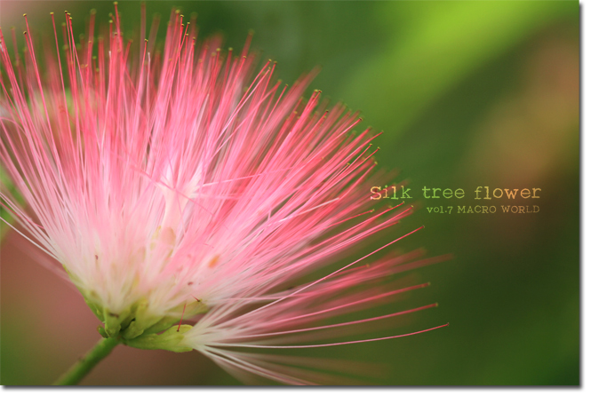 Silk-tree-flower2.jpg