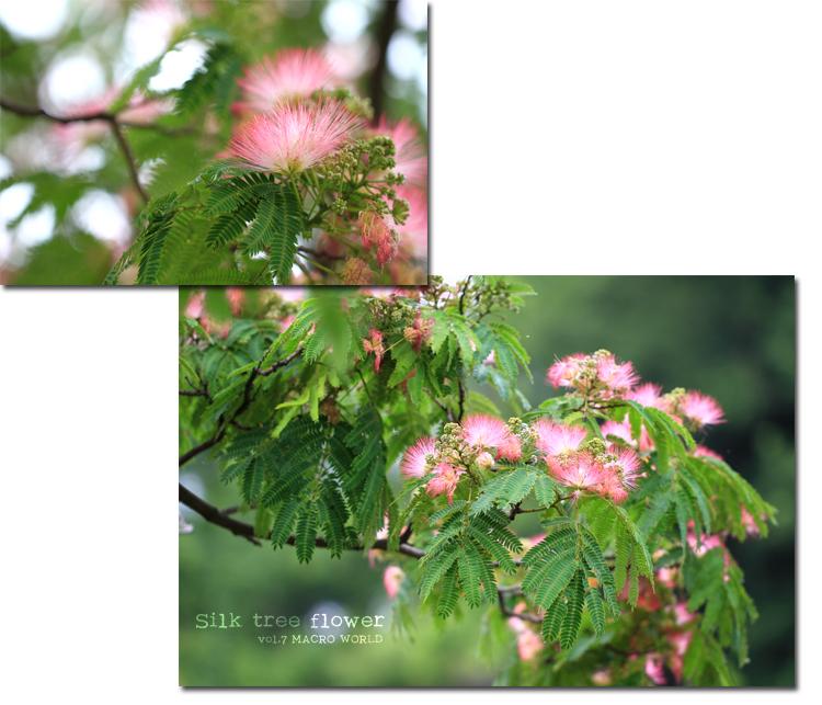 Silk-tree-flower3.jpg