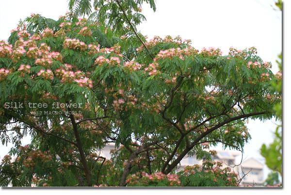 Silk-tree.jpg