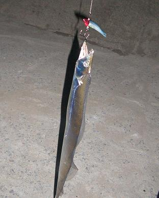 11月27日 太刀魚