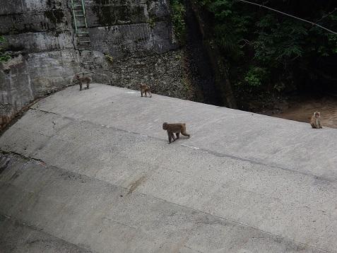 渋沢ダムの猿