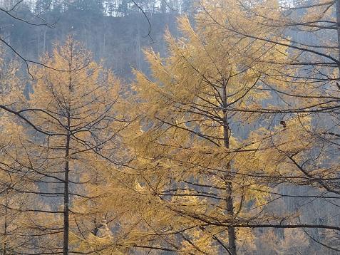 湯川 :唐松の黄葉