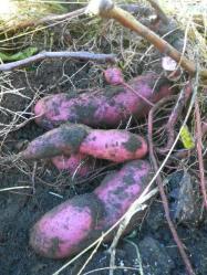 20100925紫芋