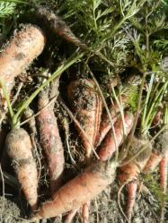 20101128人参の収穫