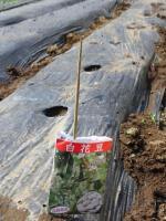 20110521白花豆