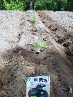 20110521栗坊かぼちゃ植付