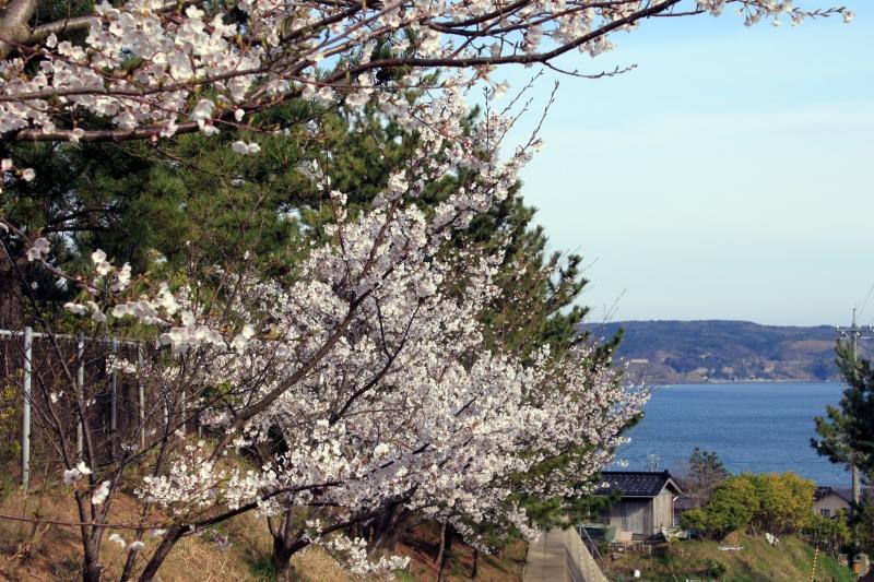 20110418_sakura.jpg