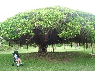 110910_ガジュマルの木 (2)
