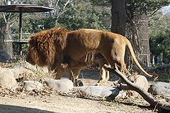 ライオンについて考える1
