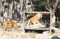 ライオンについて考える2