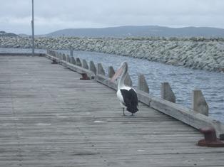 friendly pelican