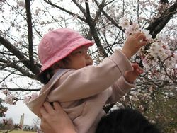 落合公園 桜