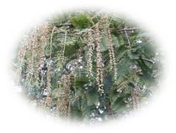 メタセコイアの花