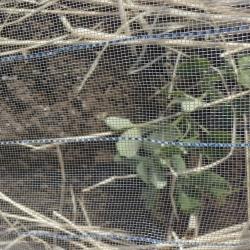 スナップ豌豆