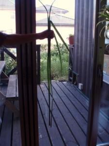 20100903自家栽培のレモングラス