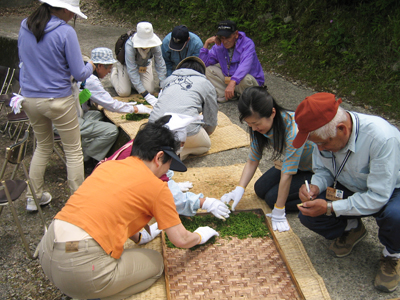 山茶摘み体験2010年100606a