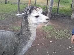 alpaca20%