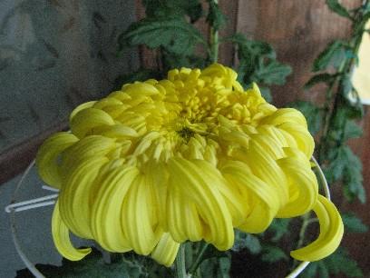 菊の花 10 25