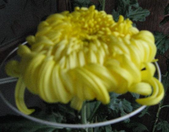 菊の花 10 27