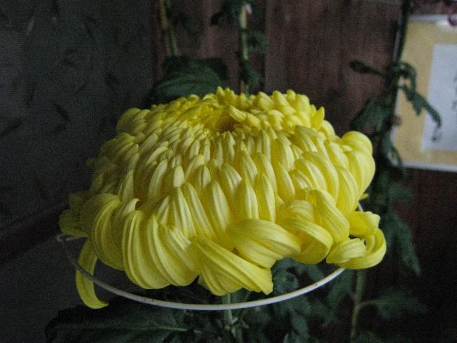 菊の花 10 31