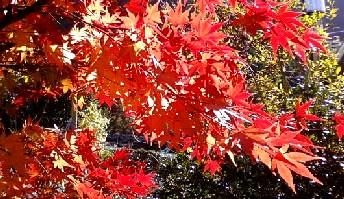 2011-12-05紅葉№(006)