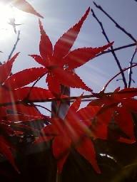 2011-12-05もみじ№(003)