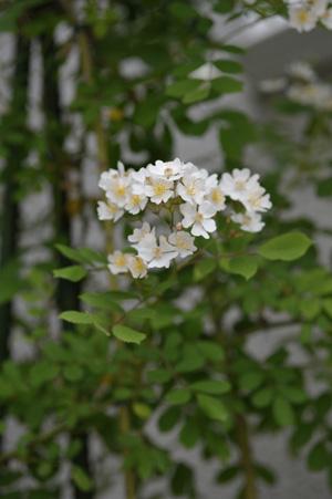 nobara2011517.jpg
