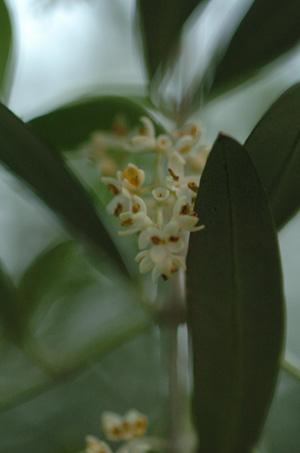 olive2010603.jpg