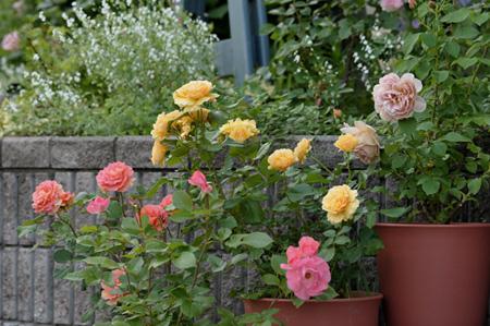 roses2011522-1a.jpg