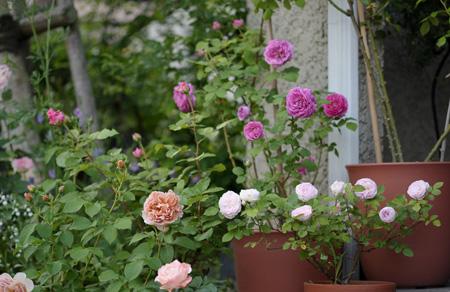 roses2011522-2.jpg