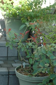 roses2011913-4.jpg