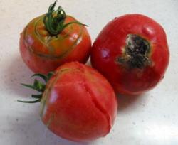 tomatobyouki2004.jpg