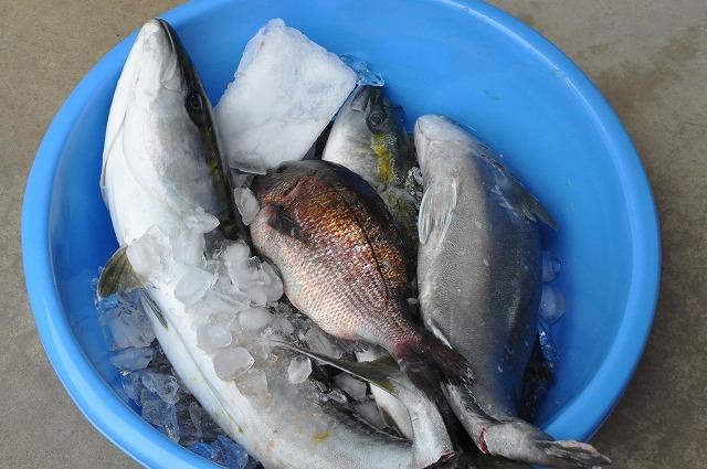 DSC_1429 鰤に鯛にハマチにカンパチ