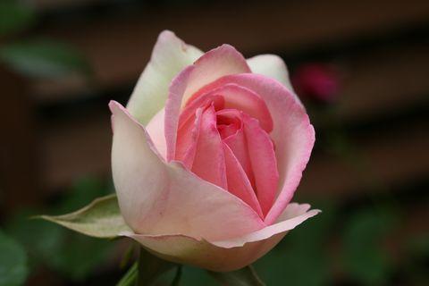 咲いたばかりのロンサール